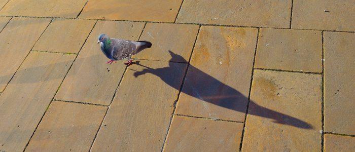 pigeon-22259_1920